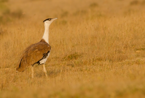 """Great Indian bustard"" by Prajwalkm - Own work. Licensed under CC BY-SA 3.0 via Wikimedia Commons - http://commons.wikimedia.org/wiki/File:Great_Indian_bustard.jpg#/media/File:Great_Indian_bustard.jpg"