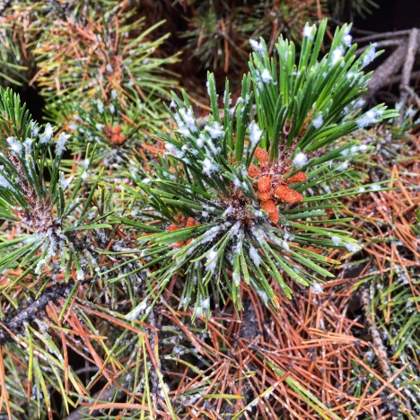 Pine needle scale is weakening and killing conifer trees in the Colorado mountains.