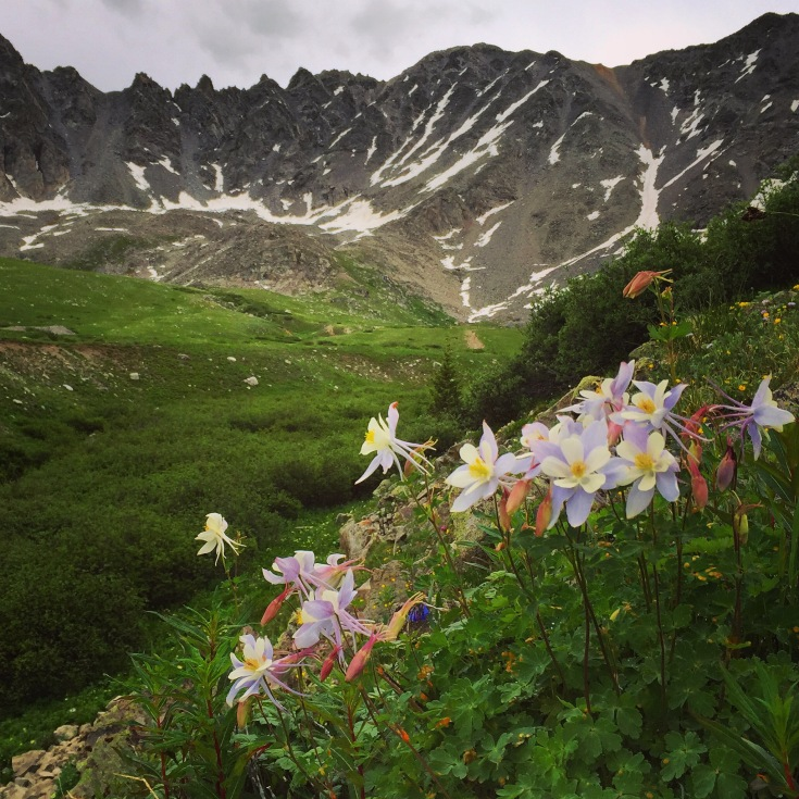 A cluster of columbines in Mayflower Gulch.