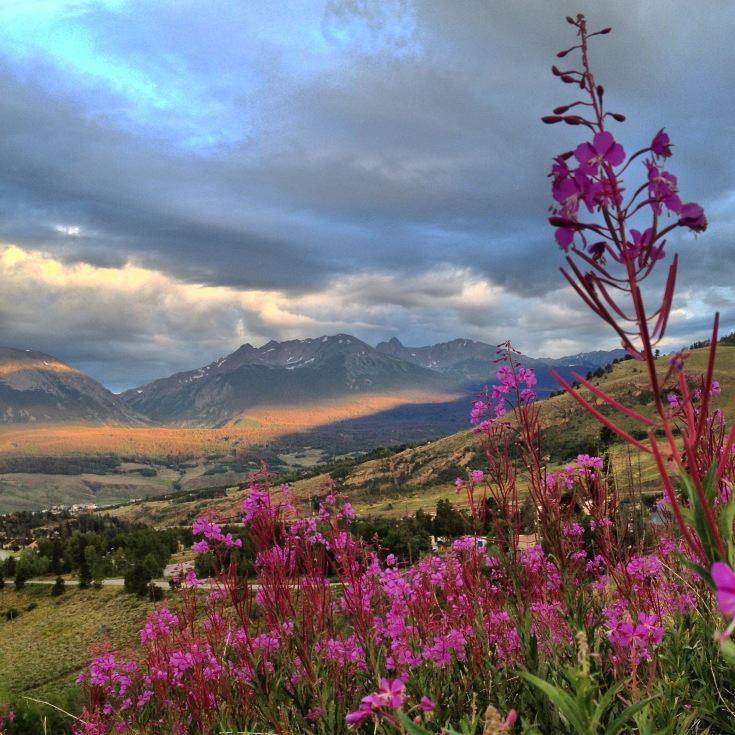 Fireweed blooming along in the Rocky Mountains.