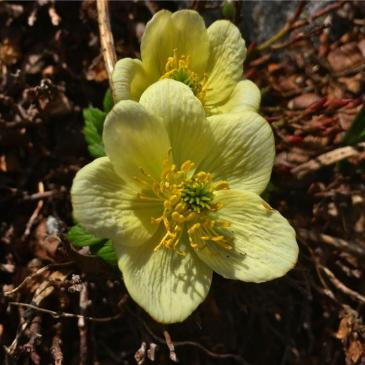 Early wildflowers blooming near Loveland Pass.