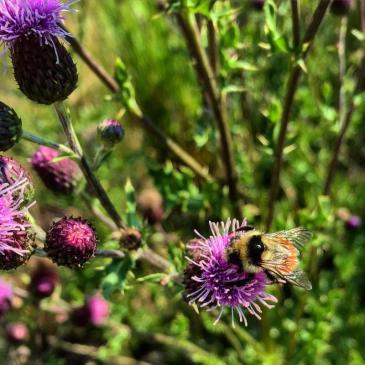 A bumblebee forages for pollen near Frisco, Colorado.
