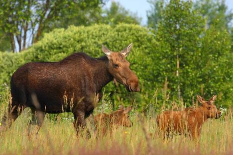 A family of moose roams free in the Chernobyl Exclusion Zone. Credit Valeriy Yurko/Polessye State Radioecological Reserve