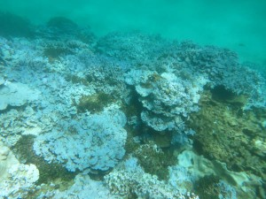 Extensive stand of severely bleached coral at Lisianski Island in the Papahanaumokuakea Marine National Monument in Hawaii, documented during an August 2014 NOAA research mission. (Credit: NOAA).