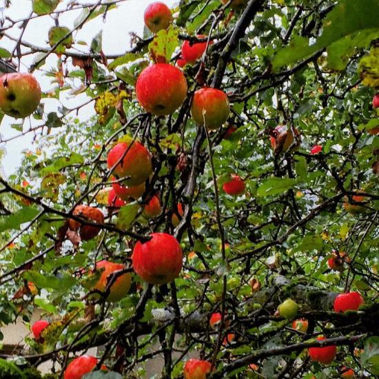 Backyard apples.