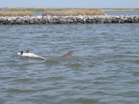 Dolphin Y01 pushes a dead calf in March, 2013. This behavior is sometimes observed in female dolphins when their newborn calf does not survive. Credit Louisiana Department of Wildlife and Fisheries