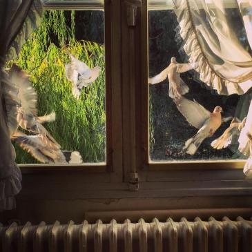 Early Saturday morning, a flurry of doves outside the kitchen window.