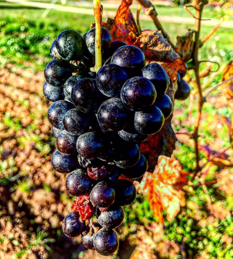 In a Provence vineyard, grapes left hanging past the harvest blacken in the late autumn sun.