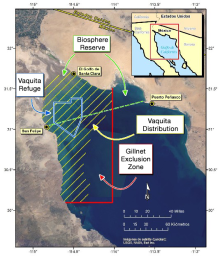 Gillnet fishing in the upper Gulf of California is wiping out the vaquita.