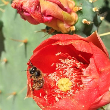 Drenched in pollen, a honeybee emerges from a cactus flower on coast of southern France.