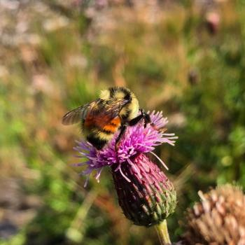 Colorado bumblebee on a thistle.