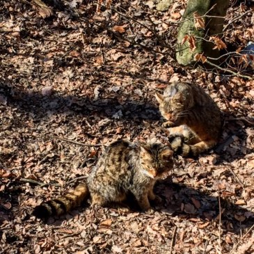 Bobcats are making a comeback in Thayatal National Park.