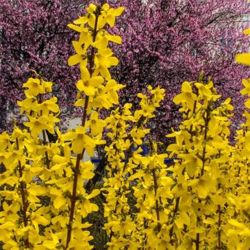 Forsythia and ornamental trees flowering near the Votivkirche in downtown Vienna.