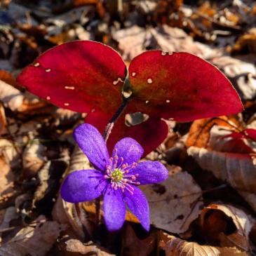 Hepatica, one of the earliest wildflowers to bloom in the spring, pushing up through the fallen leaves of fall and winter.