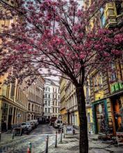 spring tree blossoms Mondscheingasse