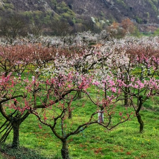 A fruit orchard along the Danube bursts into full bloom in the Wachau world heritage region of Austria.