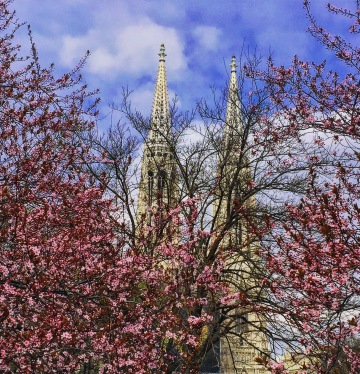 Near the Vienna University and the Votivkirche, ornamental fruit trees are in full bloom in late March.