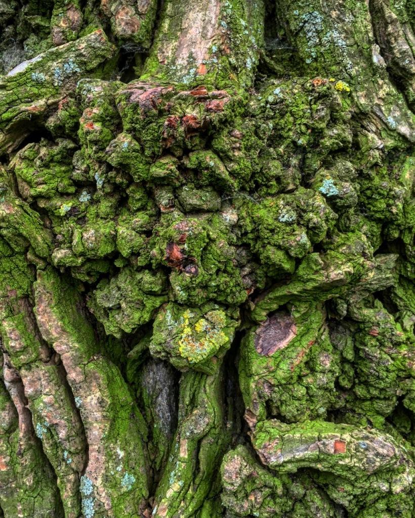 Moss on ottonwood bark