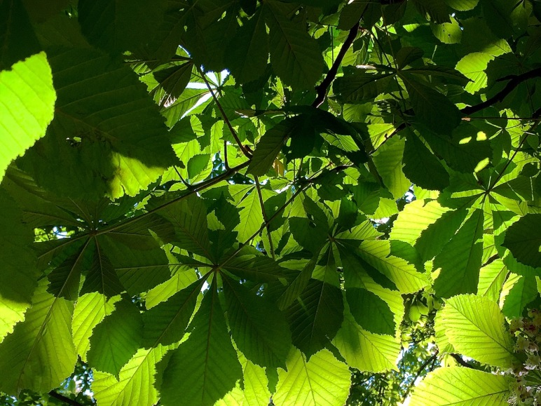 chestnut tree shade