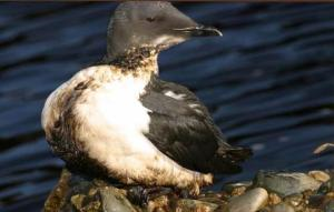This is an Oiled Thick-billed Murre, Cripple Cove (near Cape Race), Newfoundland November 28, 2004. Credit Photo by Ian L. Jones