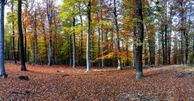 Beech trees in a blaze of autumn glory.