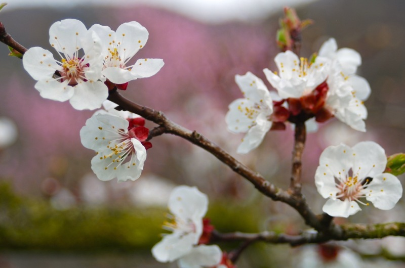Apricot blossoms.