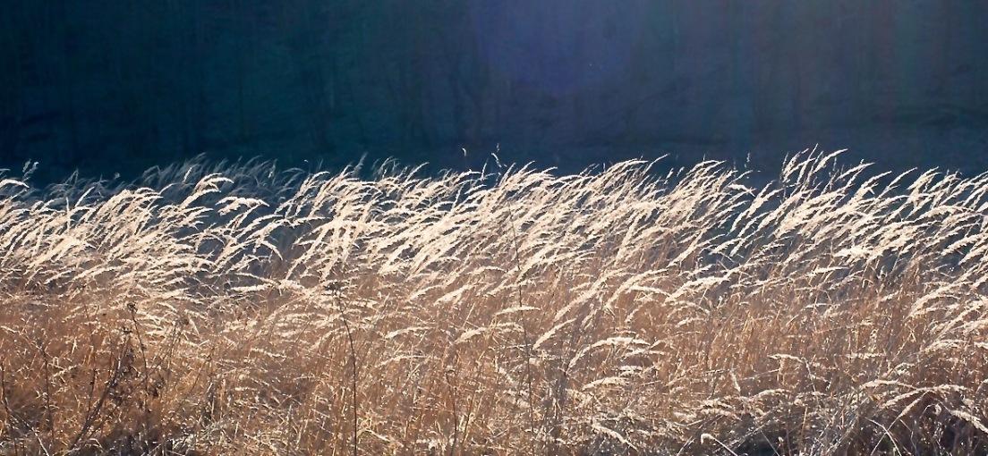 Glinting grasses.
