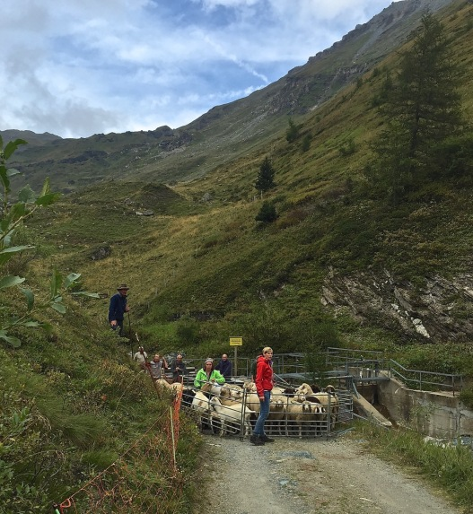 With snow in the forecast, sheepherders prepare to move their animals down to the valley.