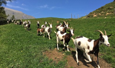 These goats seems to be well-trained. Even without a herder persent, they knew which way to go.