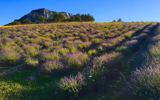 Lavender fields forever ...