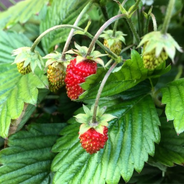 Wild mountain strawberries.