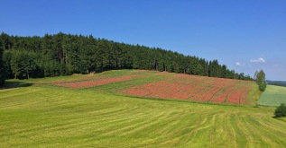 At an elevation of about 1,000 meters in the Waldviertel, a poppy field blooms in mid-July.