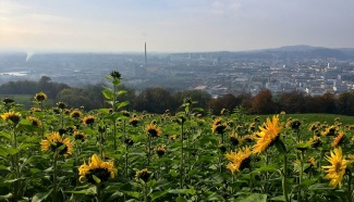 Sunflowers over the city.